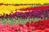 Tulips tulipani_MG_8788-11.jpg