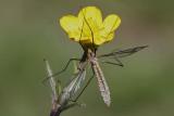 Common crane fly Tipula oleracea ko�eninar_MG_9028-111.jpg