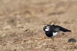 Lapwing Vanellus vanellus priba_MG_1417-1.jpg
