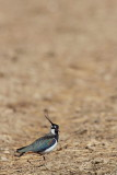 Lapwing Vanellus vanellus priba_MG_1219-11.jpg