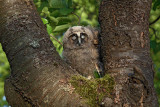 Long-eared owl Asio otus mala uharica_MG_5511-1.jpg