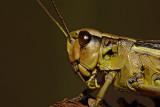 Large marsh grasshopper Stethophyma grossum_MG_1013-1.jpg