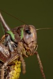 Wart-biter bush cricket Decticus verrucivorus navadna plenilka_MG_3485-1.jpg
