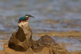 Kingfisher Alcedo athis vodomec_MG_5019-1.jpg