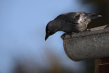 Jackdaw Corvus monedula kavka_MG_7073-1.jpg