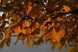 Autumn leafs jesensko listje_MG_7962-1.jpg