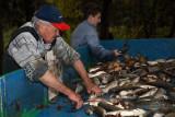 Sorting of fishes sortiranje rib_MG_7549-1.jpg