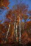 Autumn beech Fagus sylvatica bukev_MG_8033-1.jpg