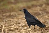Rook Corvus frugulegus poljska vrana_MG_8433-1.jpg