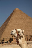 Dromedary Camelus dromedarius dromedar_MG_9963-1.jpg