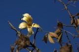 Floss silk tree Ceiba speciosa_MG_0030-1.jpg