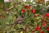 Common bulbul Pycnonotus barbatus bulbul_MG_0403-1.jpg