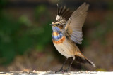 bluethroat_luscinia_svecica