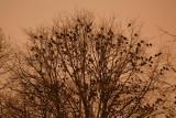 Jackdaw Corvus monedula on roost kavka_MG_3731-1.jpg