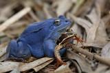 Moor frog Rana arvalis plavček_MG_6356-1.jpg