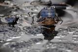 Moor frog Rana arvalis plavček_MG_6326-1.jpg