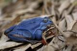 Moor frog Rana arvalis plavček_MG_6348-1.jpg