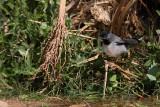 Rüppell's Warbler Sylvia rueppelli èrnogrla penica_MG_4695-1.jpg