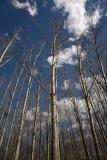 Poplars Popolus sp. topoli_MG_6286-1.jpg