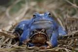 Moor frog Rana arvalis plavček_MG_6275-1.jpg