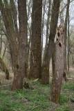 Floodplain willow forest poplavni vrbov gozd_MG_6451-1.jpg