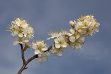 Blackthorn Prunus spinosa èrni trn_MG_7329-1.jpg
