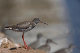 Common redshank Tringa totanus rdečenogi martinec_MG_4888-1.jpg