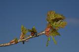 Common oak Quercus robur dob_MG_7572-1.jpg