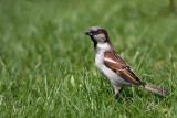 House sparrow Passer domesticus domaèi vrabec_MG_8132-1.jpg