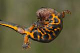 Italian crested newt Triturus carnifex veliki pupek_MG_8403-1.jpg