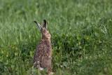 Brown hare Lepus europaeus poljski zajec_MG_8559-1.jpg