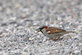 House sparrow Passer domesticus domaèi vrabec_MG_9275-1.jpg
