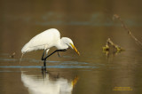 Great Egret with Small Eel