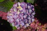 hydrangea redux