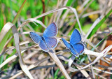 Eastern Tailed Blues