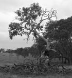 Fractal tree.jpg