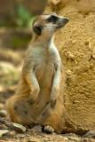 Meerkat again, Selwo, Estepona
