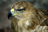Buzzard, Bossington (6256)