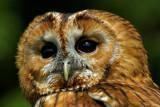 Tawny owl, Bossington