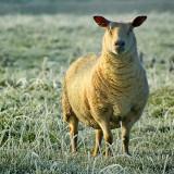 Frozen lamb! Martock