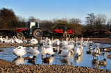 Tractor and swans, Slimbridge