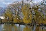 Weeping willows, Slimbridge