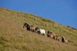 Les chevaux rois - Buron de la garde