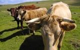 Les Vaches toujours