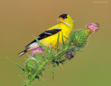 _NW83696 Goldfinch With Thistle Seed.jpg
