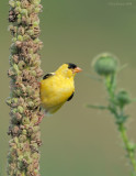 _NW84902 Goldfinch on Commom Mullen.jpg