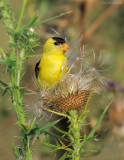 _NW85010 Goldfinch in  Thistle Seed Head.jpg