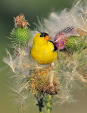 _NW85112 Goldfinch  in Thistle Vertical Image