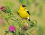 _NW85224 Male Goldfinch on Thistle