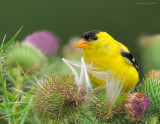 _NW85439 Male Goldfinch on Thistle.jpg